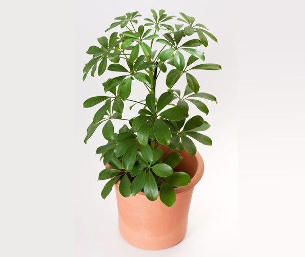 umbewlla-plant